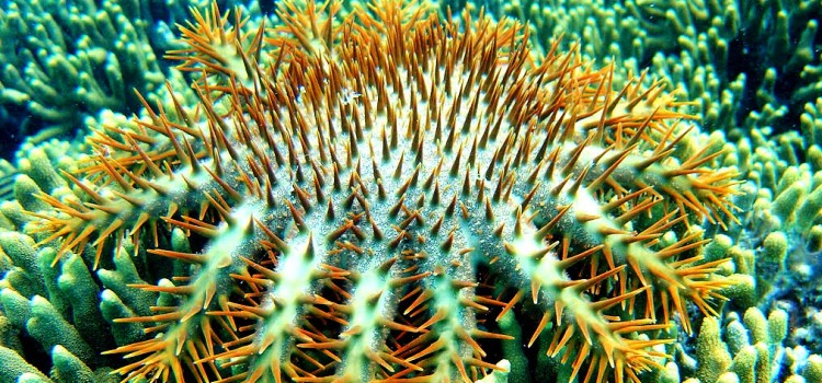 bintang laut mahkota duri